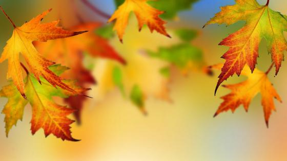 Colorful autumn maple leaves    wallpaper