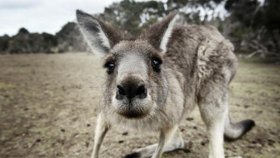 Curious kangaroo wallpaper
