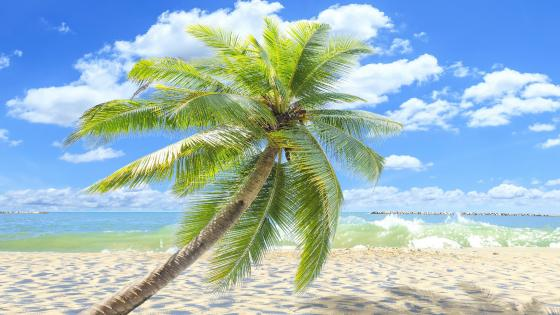 Single palm tree on the sandy beach  wallpaper