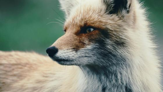 Red fox close-up photo wallpaper