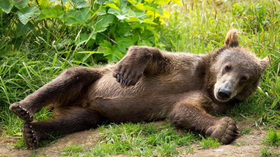 Kodiak brown bear cub wallpaper