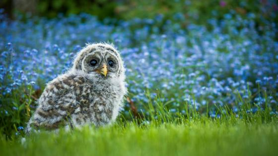 Owl chick in the grass wallpaper