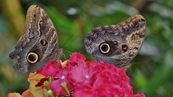 Butterflies on the red flower - Macro photography wallpaper