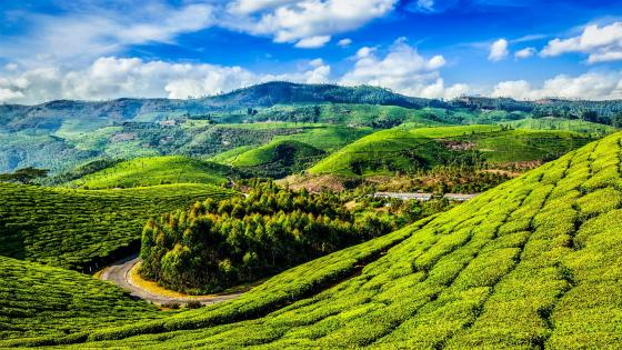 Hill slopes with tea plantations - India wallpaper