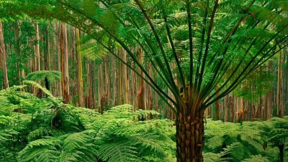 Dandenong Ranges National Park - Australia wallpaper