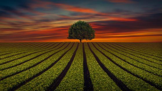 Lone tree on the horizon wallpaper