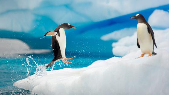 Funny Penguin couple wallpaper