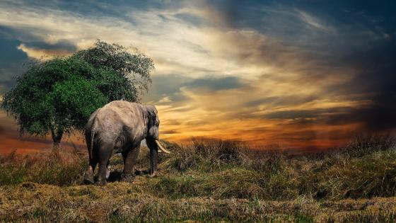 Elephant walking around wallpaper
