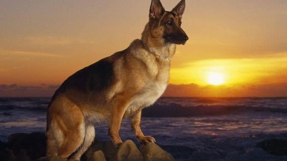 German Shepherd dog in the sunset wallpaper