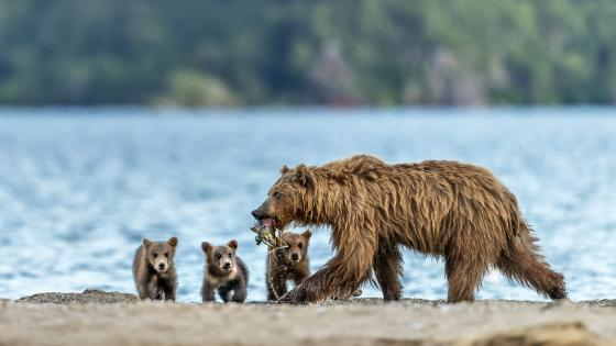 Brown bear family wallpaper