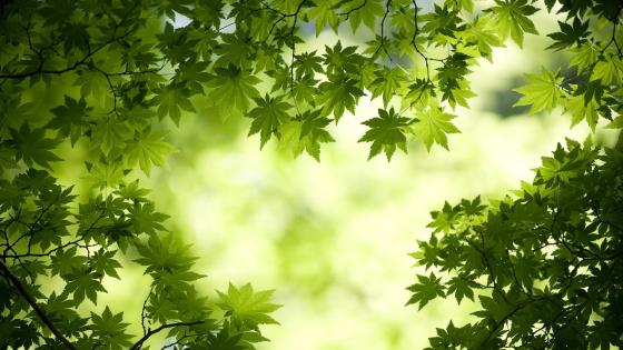 Green maple tree leaves wallpaper