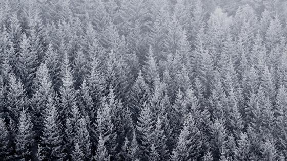 Aerial frozen pine forest in winter wallpaper