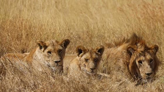 Serengeti orphan lions wallpaper