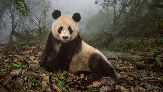 Wolong Giant Panda Nature Reserve - China wallpaper