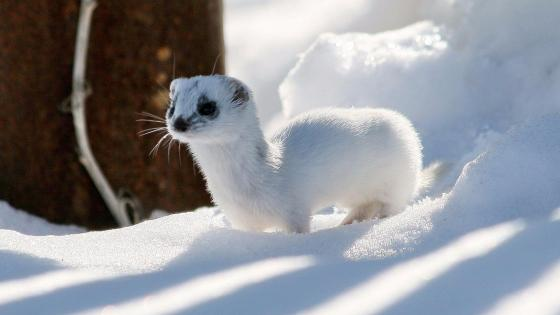 Stoat in the snow wallpaper