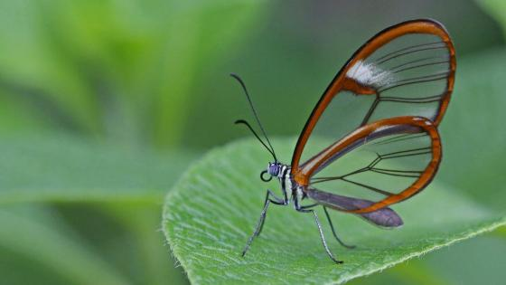 Glasswinged butterfly - Macro photography wallpaper