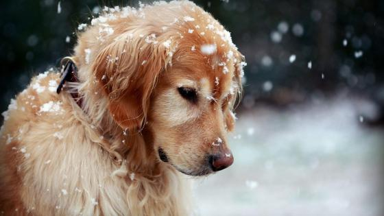 Snowflakes on a Golden Retriever wallpaper