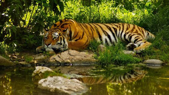 Tiger at Sundarban National Park wallpaper