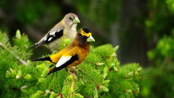 Birds on the fir branch wallpaper