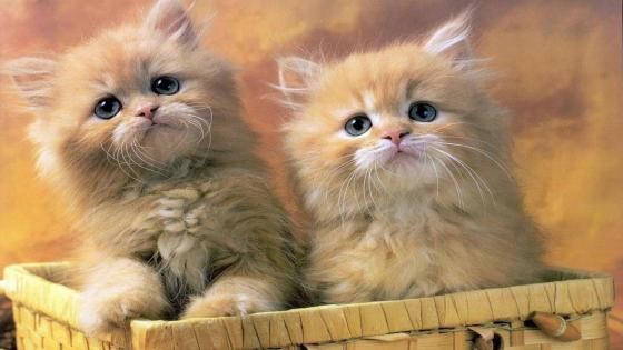 Small kittens wallpaper