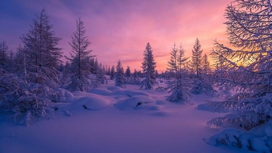 Snowy fir forest in the sunset wallpaper