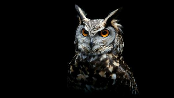 Owl on black background wallpaper
