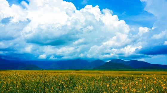Yellow flower field wallpaper