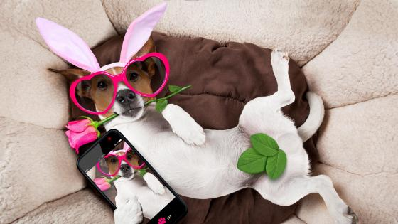 Funny Jack Russell Terrier in fancy dress wallpaper