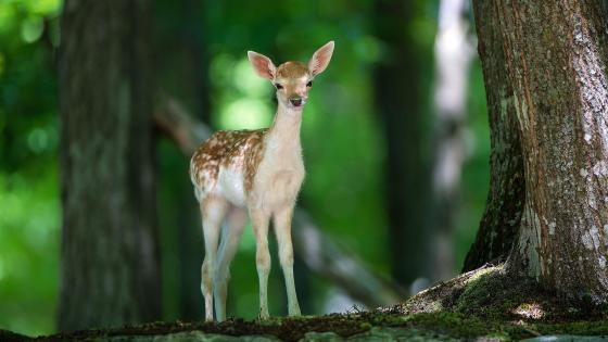 Baby deer in forest wallpaper