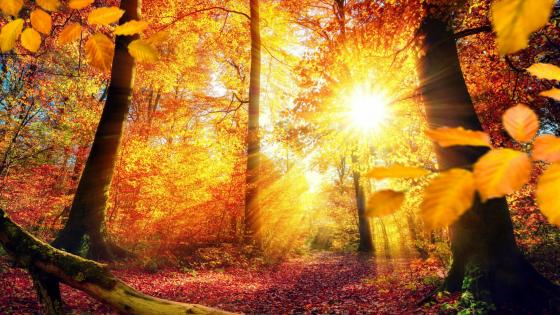 Sunbeams in the autumn forest  wallpaper