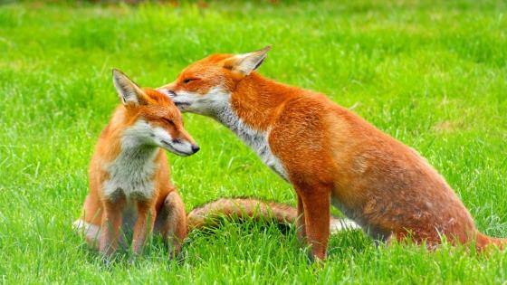 Red foxes in the grass - Wildlife photography wallpaper