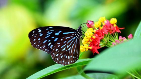 Dark butterfly on the flower - Macro photography wallpaper