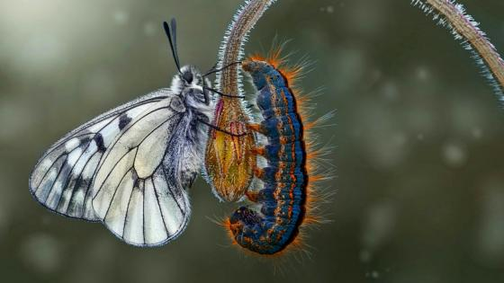 Butterfly and Caterpillar wallpaper