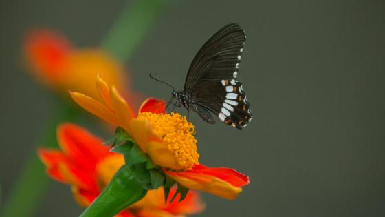 Black butterfly on a flower - Bokeh photography wallpaper