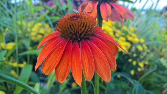 Red Coneflower wallpaper