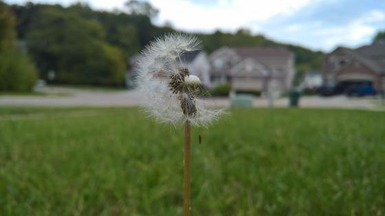 Dandelion macro photography wallpaper
