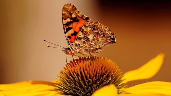 Macro Butterfly wallpaper