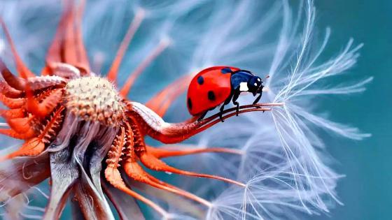 Macro Ladybug wallpaper
