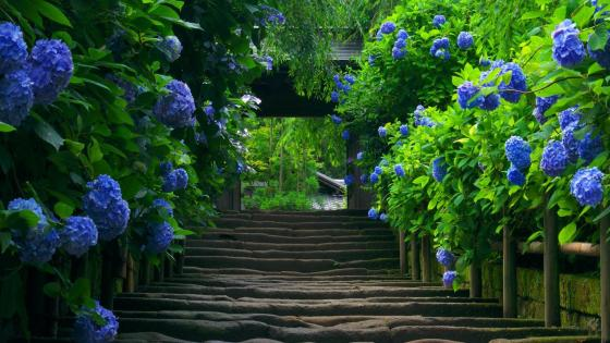 Blue Hydrangea path wallpaper