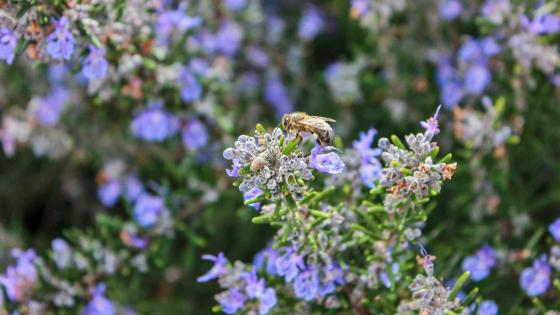 Bee on Lavendar wallpaper