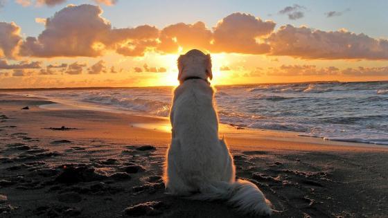 Dog on beach at sunset wallpaper