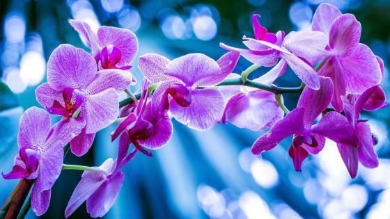 Phalaenopsis Orchid wallpaper
