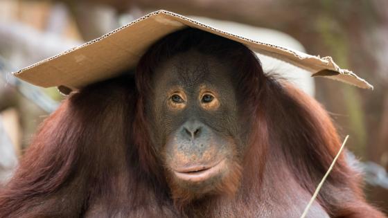 Cute orangutan - Wild animal photography wallpaper