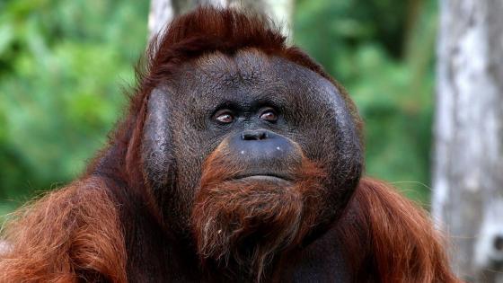 Bornean Orangutan wallpaper