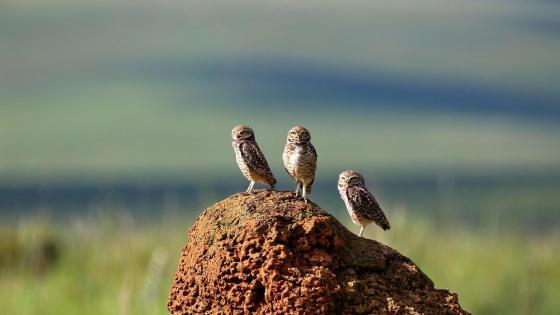 Burrowing Owl - Wildlife Photography wallpaper