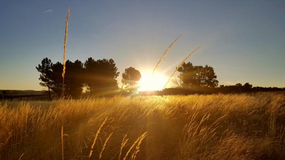 Late summer field at sunrise wallpaper