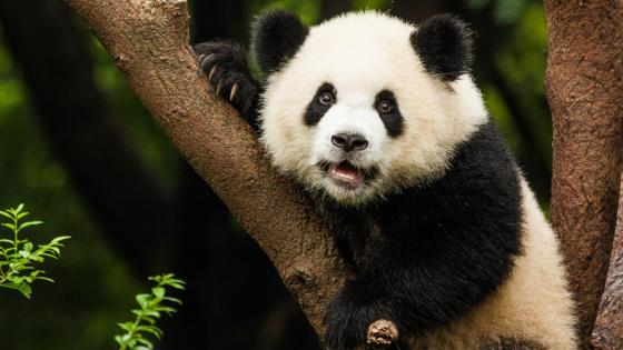 Cute panda bear on the tree wallpaper
