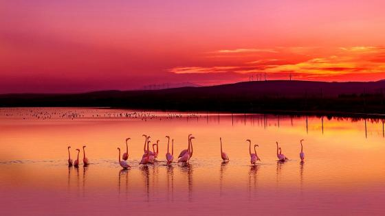 Flamingos in the sunset at France wallpaper