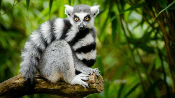 Cute Ring-tailed lemur wallpaper