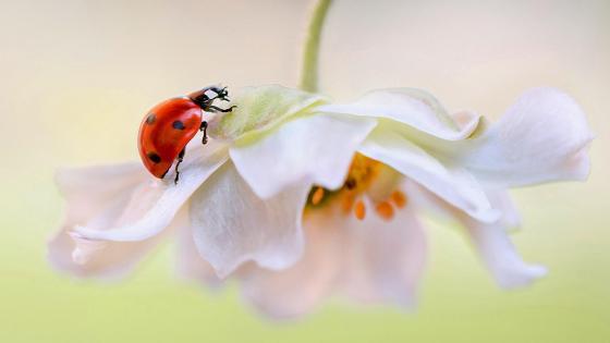 Ladybug on white flower wallpaper